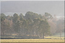 NO5895 : Winter Pine and Birch by Ballogie