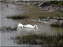 TQ7369 : Swans in the creek by Penny Mayes