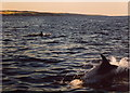 NO9395 : Dolphins south east of Old Portlethen by david