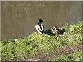 SP0274 : Ducks by David Stowell