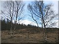 NH2611 : Birch Trees in Glen Moriston by John Allan