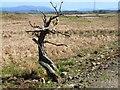 NX3162 : Mrs Johnston's tree near Culvennan Fell by Oliver Dixon