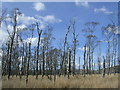 NS6176 : Strange Swamp with Dead Birch Trees by Chris Upson