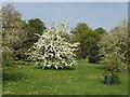 TQ1876 : Pear tree (Pyrus) in blossom, Kew Gardens by David Hawgood