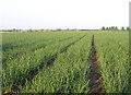 TL1743 : Onion crop, Broom, Beds by Rodney Burton