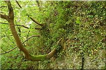 J3996 : Sycamore tree, Glenoe glen by Albert Bridge