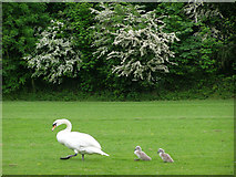 SU4828 : Swan and cygnets close to the Itchen Navigation, Winchester by Jim Champion