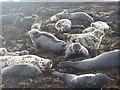 NU2538 : Atlantic Grey Seals on Longstone Island by N Chadwick