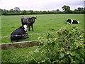SD2778 : Cows Near Ulverston by Michael Graham
