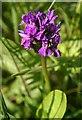 NO4751 : Northern Marsh Orchid (Dactylorhiza purpurella) by Anne Burgess