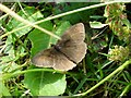 ST3530 : Meadow Brown butterfly (I think) by Penny Mayes