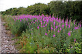 TA0623 : Barrow Haven - Rosebay Willowherb by David Wright