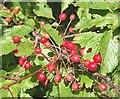 NJ3063 : Gean (Prunus avium) by Anne Burgess