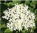 NJ3061 : Elder Flowers (Sambucus nigra) by Anne Burgess