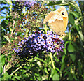 TQ5988 : Butterfly and Buddleia (2) by John Winfield