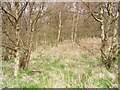 NT5867 : Birch woods, Snawdon by Richard Webb