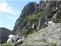 SH6659 : Mountain goats on the North Ridge of Tryfan by Doug Lee