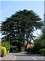 TQ4258 : The Aperfield Cedar by Rose Atkinson
