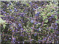 SK1486 : Sloes by Dave Dunford