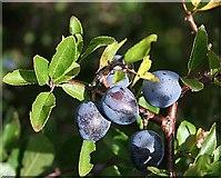 NJ3165 : Sloes (Prunus spinosa) by Anne Burgess