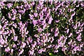 NJ3265 : Heather or Ling (Calluna vulgaris) by Anne Burgess