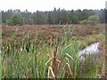 H6566 : Bulrushes at Altmore Forest by Kenneth  Allen