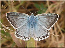 TQ4223 : Chalk Hill Blue, Sheffield Park by Andy Potter
