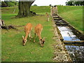 NZ2334 : Deer near water feature at Whitworth Hall Co Durham by P Glenwright