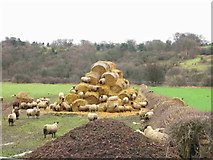 NZ1465 : Sheep on a haystack by P Glenwright