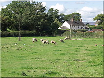 SJ3338 : The boys grazing at Street Dinas by John Haynes