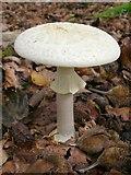 SU2813 : Amanita citrina fungus in Bignell Wood, New Forest by Jim Champion