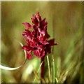NU1242 : Orchid on Lindisfarne in June by Stanley Howe