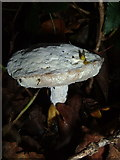 SX7962 : Fungus on bank near High Cross House by Derek Harper