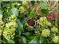 NY7508 : Red Admiral on Ivy by Dave Dunford