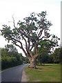 SU2710 : Stag headed oak, Newtown near Minstead, New Forest by Phil Champion