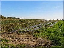 SU1012 : Strawberry field Alderholt Dorset by Clive Perrin