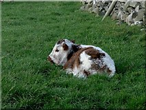 SD8970 : Calf near Darnbrook House. by Steve Partridge