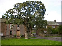 NY6529 : Pollarded sycamore and traditional cottages, Millburn. by Roy Turnbull