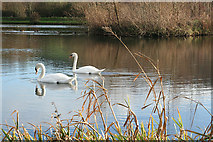 SY2793 : Axmouth: swans at Lower Bruckland by Martin Bodman