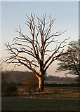 TL8063 : Evening light on dead tree by Bob Jones