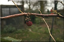 TL8063 : The last raspberry by Bob Jones