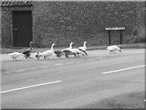 TA3719 : Geese eating spilt corn at Skeffling Cross Roads. by JFR