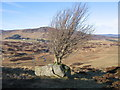 NN9034 : Tree growing on boulder by Andrew Spenceley