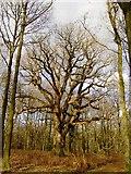 SU2265 : King Oak, Savernake Forest by Brian Robert Marshall