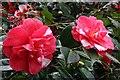 SX4552 : Camellia Blossom 1 by Tony Atkin
