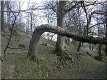 ST6601 : Woodland at the foot of Giant Hill, Cerne Abbas by Peter Beaven