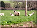 ST0473 : Spring Lambs by Stuart Wilding