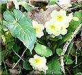 SJ8520 : Wild Primroses by stephen betteridge