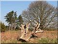 TM3649 : Tree stump by Richard Mudhar
