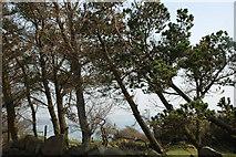 SH2428 : Pinwydd wrth ochr yr hen ffordd i Rhiw - Pines beside the old road to Rhiw by Alan Fryer